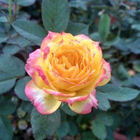 Hoa hồng giá sỉ