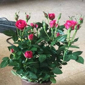 Hoa hồng chậu trưng ngày tết