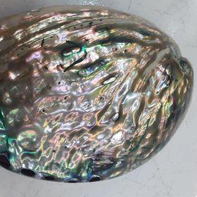 Vỏ ốc Bào Ngư vành tai xanh giá sỉ