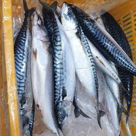 Cá saba Na Uy nguyên con giá sỉ